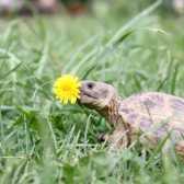 Як дізнатися вік сухопутної черепахи