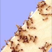 Як вивести мурах в будинку