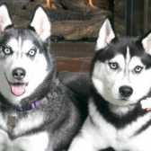Чому собаки гавкають