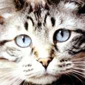 Чому кішка - священна тварина