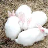 Як визначити вагітність у кролиці