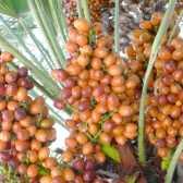 Як виростити з фініка пальму