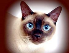 Як назвати сіамську кішку