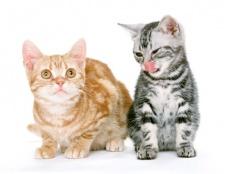 Як купити кошеня-британця