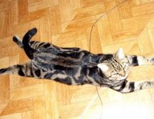 Як лікувати цистит у кота