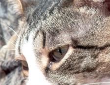 Як лікувати нежить у кота