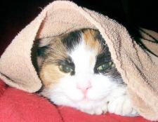 Як лікувати сечокам'яну хворобу у кішок