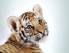Як назвати тигреня