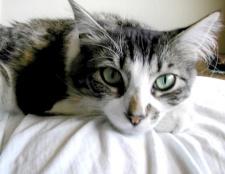 Як лікувати рани у кота