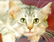 Як визначити лишай у кішок