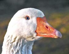 Як визначити стать гусей