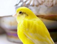 Як відрізнити самку канарки від самця