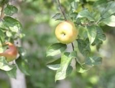 Як посадити яблуневий сад