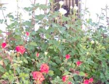 Як правильно обрізати троянди