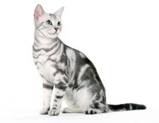 Як містити кошеня-британця