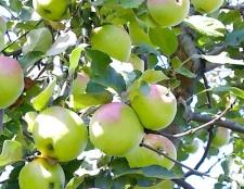 Як проводити обрізання яблунь