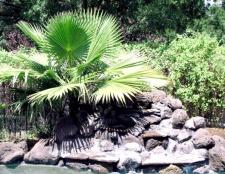 Як розмножити пальму