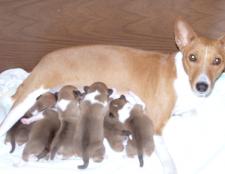 Як визначити, чи вагітна собака