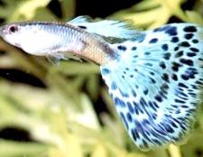 Як дізнатися стать риби