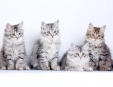 Як вибрати кошеня сибірської кішки
