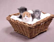 Як вибрати породу кошеня
