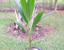 Як виростити кокосову пальму