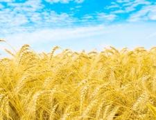 Як виростити жито