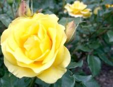 Як виростити троянди з насіння