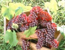 Як висаджувати виноград