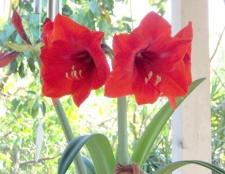 Як змусити цвісти гіппеаструм