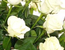 Як освіжити троянди