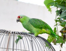 Як розпізнати стать папуги