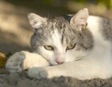 Як вилікувати кішку від застуди