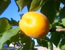 Як виростити абрикос з кісточки