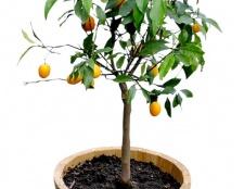 Як виростити дерево з насіння