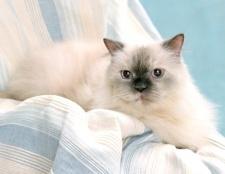 Чому линяє кішка