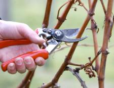 Як обрізати виноград в зиму