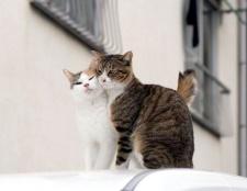 Як визначити коли у кішки тічка