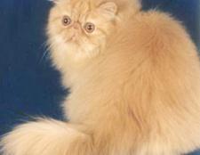 Як годувати перську кішку