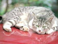 Як лікувати отруєння у кота