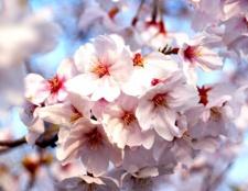 Як намалювати квітку сакури