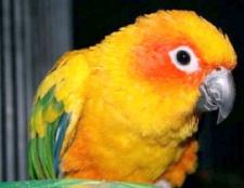 Як навчити папугу співати