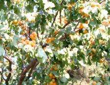 Як обрізати абрикос