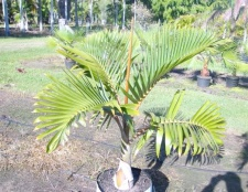 Як виростити пальму з сім'я